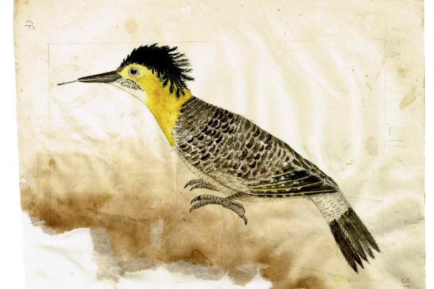 Ilustración de un pájaro Carpintero