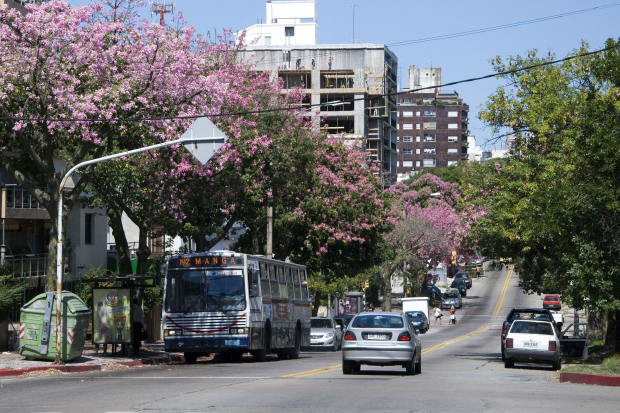 Arboles Ceiba speciosa (Palo borracho) en la calle Av. Francisco Soca.