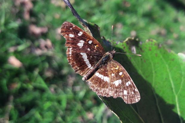 Bataraza - Orthilia ithra