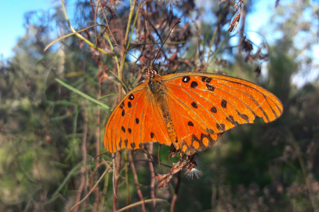 Mariposa del Mburucuyá - Agraulis vanillae