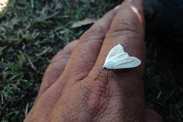 Mariposa sp
