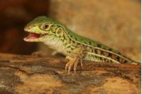 Saurios con estilo. Nombre común: Lagartija verde de cuatro dedos. Nombre científico: Teius oculatus.