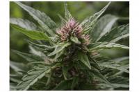 Flores hembra de Cannabis. Maldonado, 2021
