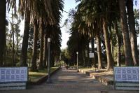 Palmeras Fenix en el Parque Rodó