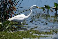 Garza blanca grande - Ardea alba