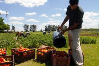 Cosecha de tomate