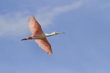 """Pantera Rosa"" plumosa. Nombre común: Espátula rosada, cuchareta. Nombre científico: Platalea ajaja. Foto: Santiago Carvalho."